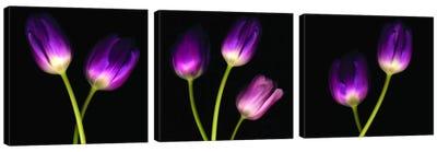 Purple Tulips On Black Triptych Canvas Art Print