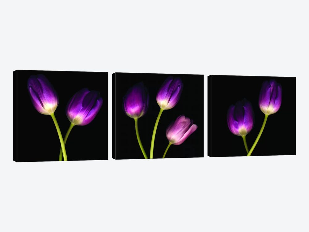 Purple Tulips On Black Triptych Canvas Art Tom Quartermaine Icanvas