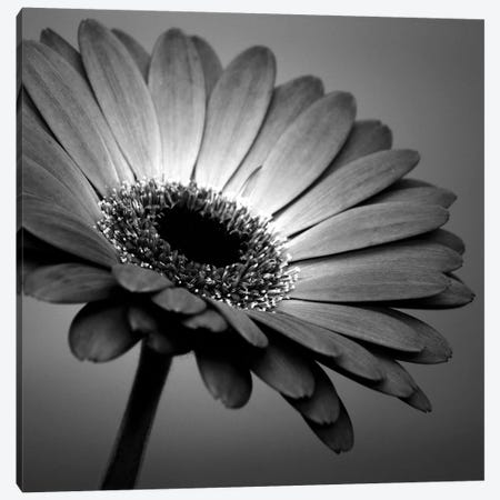 B&W Gerbera I Canvas Print #TQU42} by Tom Quartermaine Canvas Wall Art