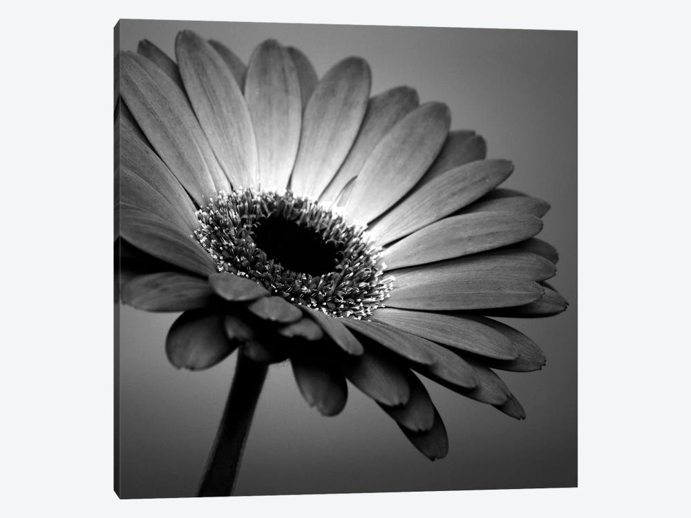 B&W Gerbera I by Tom Quartermaine 1-piece Canvas Art Print