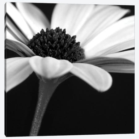 B&W Osteospermum I Canvas Print #TQU45} by Tom Quartermaine Canvas Art Print