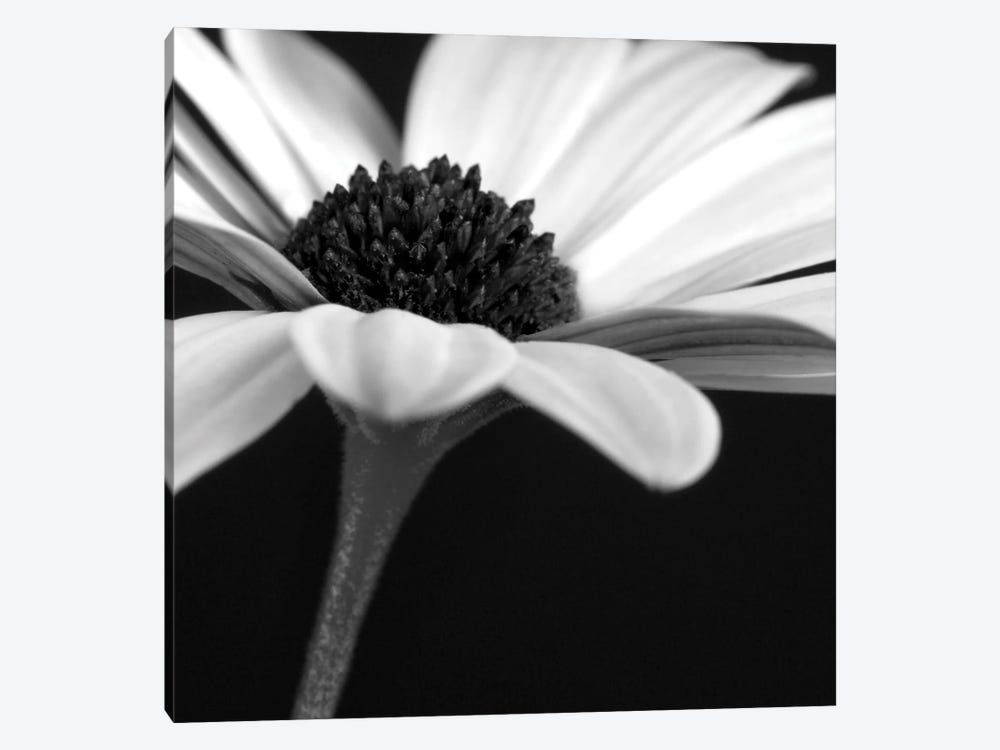 B&W Osteospermum I by Tom Quartermaine 1-piece Canvas Art