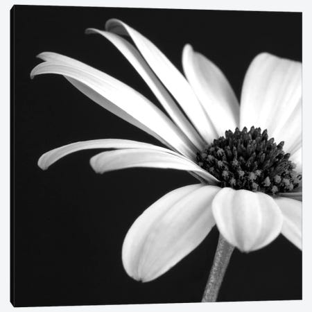 B&W Osteospermum II Canvas Print #TQU46} by Tom Quartermaine Art Print