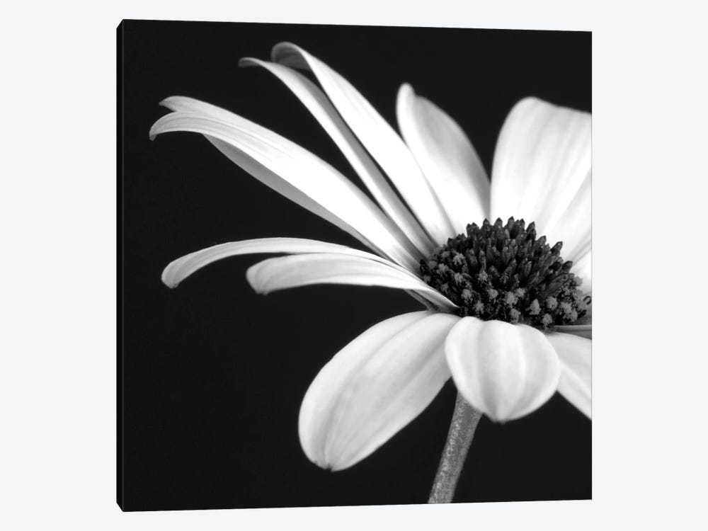 B&W Osteospermum II by Tom Quartermaine 1-piece Canvas Art Print