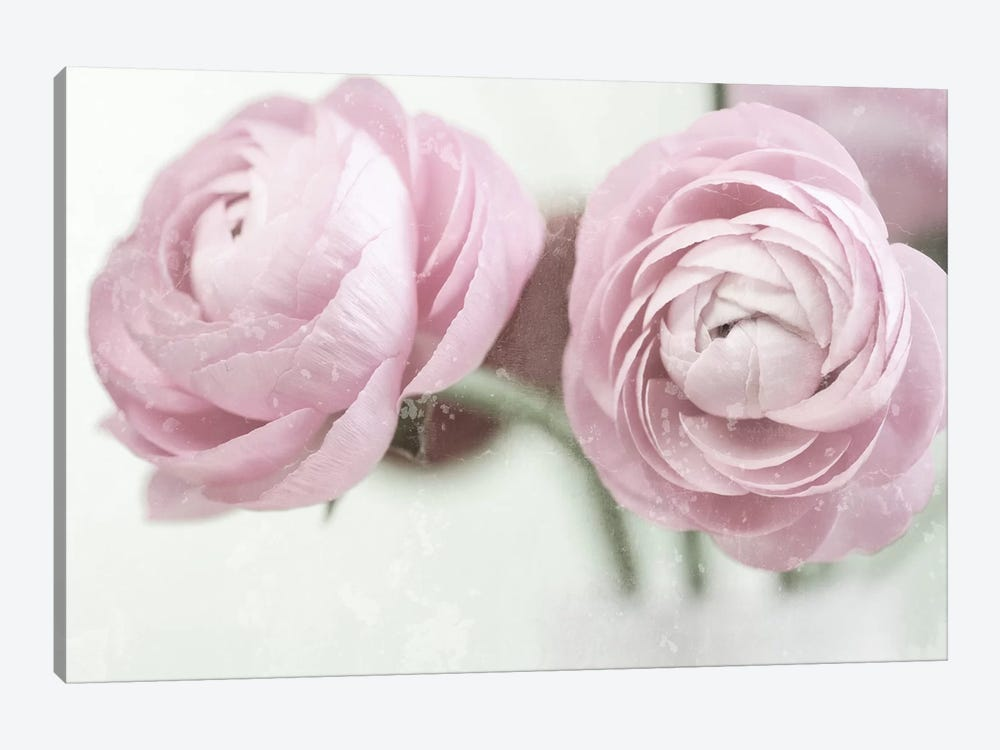 2 Pink Ranunculus by Tom Quartermaine 1-piece Canvas Art Print