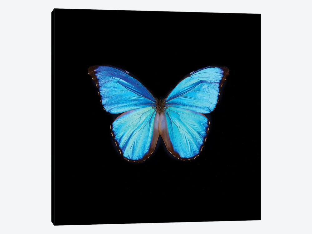 Blue Butterfly On Black by Tom Quartermaine 1-piece Canvas Art Print