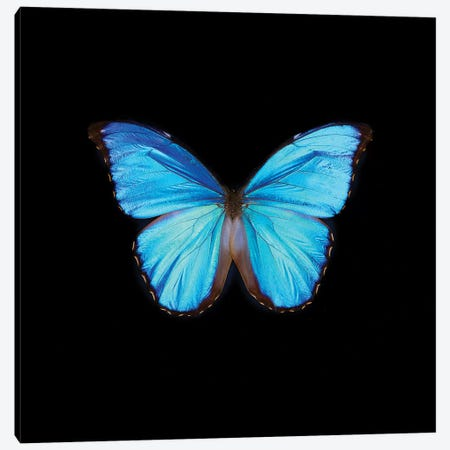 Blue Butterfly On Black 3-Piece Canvas #TQU60} by Tom Quartermaine Canvas Artwork