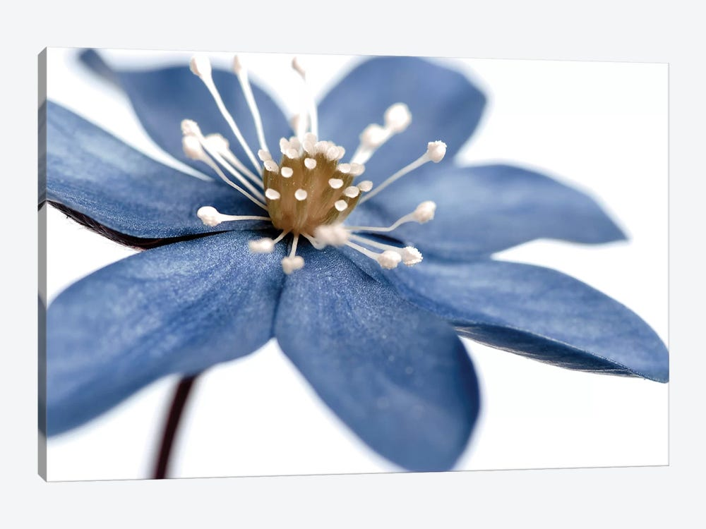 Blue Flower On White II by Tom Quartermaine 1-piece Canvas Print