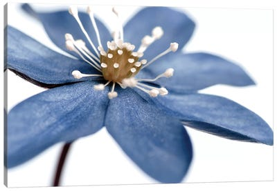Blue Flower On White II Canvas Art Print