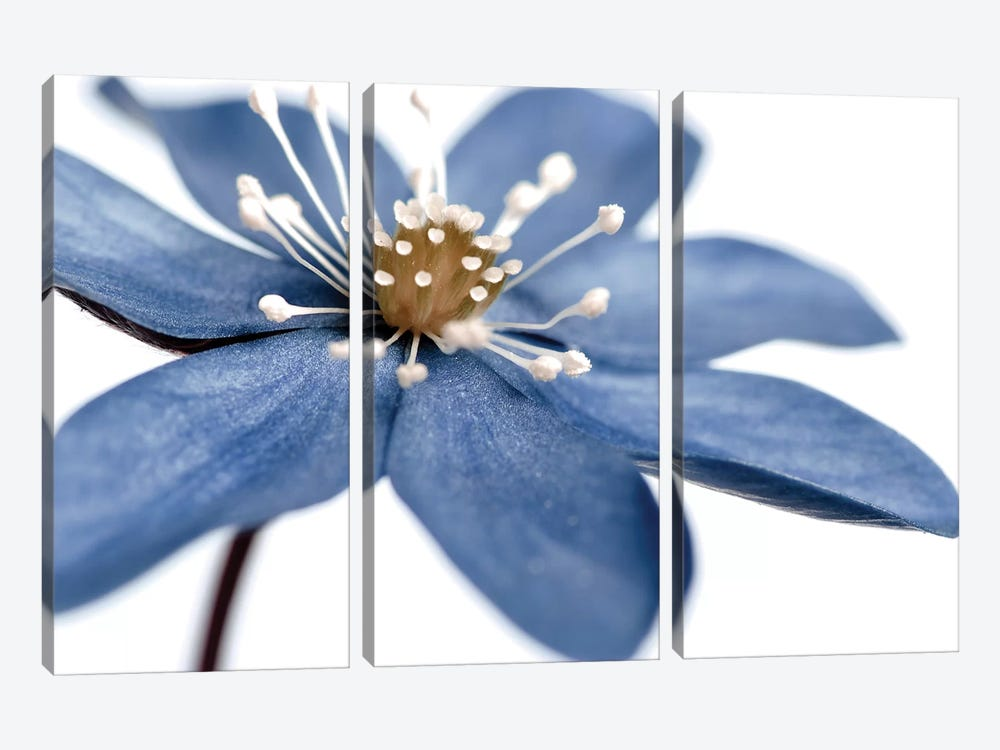 Blue Flower On White II by Tom Quartermaine 3-piece Art Print