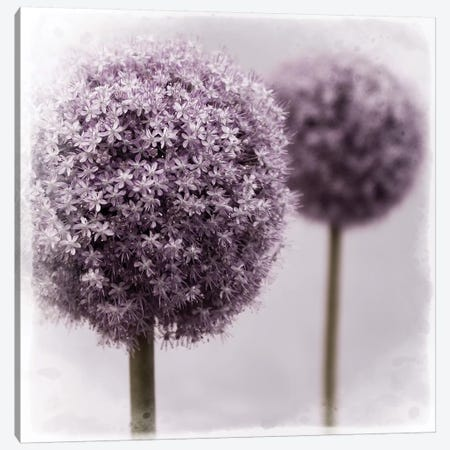2 Purple Alliums Canvas Print #TQU7} by Tom Quartermaine Canvas Print