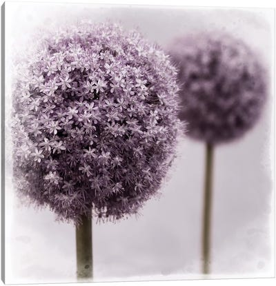 2 Purple Alliums Canvas Art Print