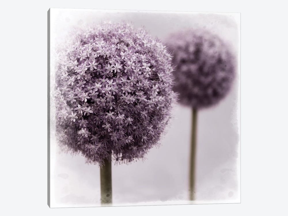 2 Purple Alliums Canvas Print By Tom Quartermaine Icanvas