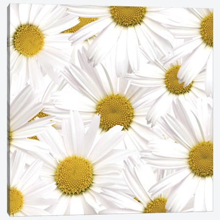 Collection Of Daisies Canvas Print #TQU80} by Tom Quartermaine Canvas Art