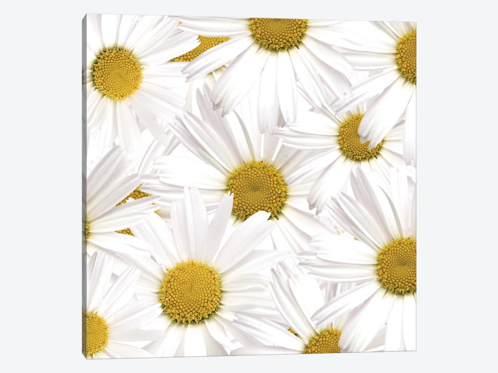 Collection Of Daisies by Tom Quartermaine 1-piece Canvas Art Print