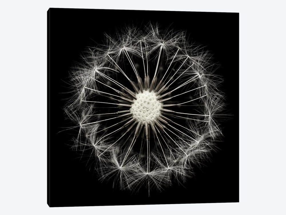 Cross Section Dandelion On Black 1-piece Canvas Wall Art