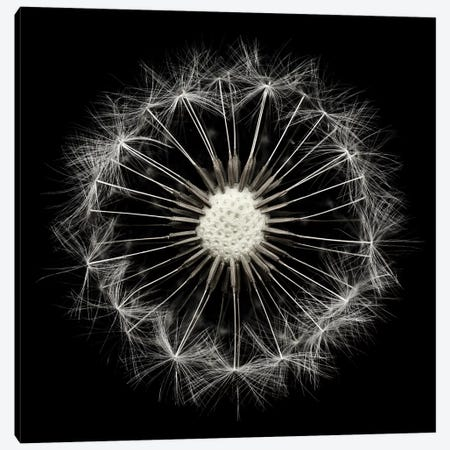 Cross Section Dandelion On Black 3-Piece Canvas #TQU87} by Tom Quartermaine Art Print