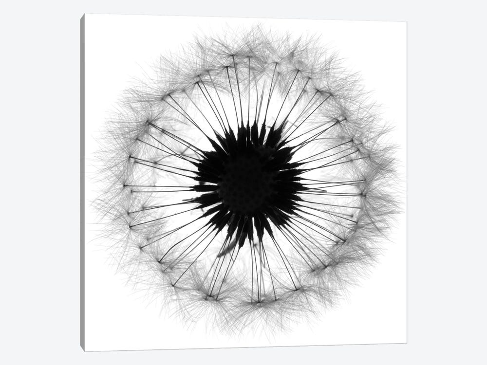Cross Section Dandelion On White by Tom Quartermaine 1-piece Canvas Print
