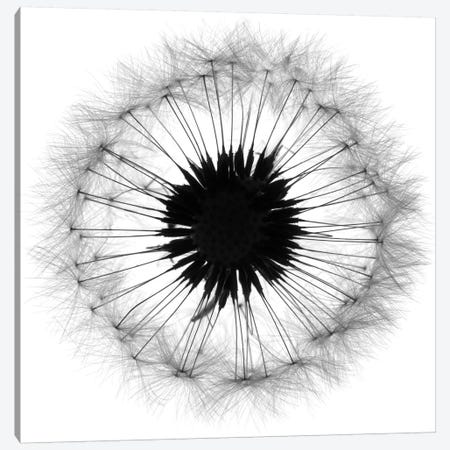Cross Section Dandelion On White 3-Piece Canvas #TQU88} by Tom Quartermaine Canvas Art