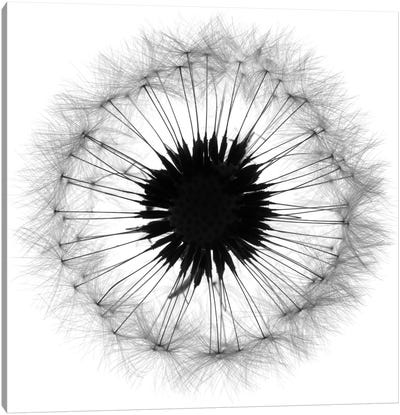 Cross Section Dandelion On White Canvas Art Print
