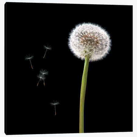 Dandelion With Seeds Canvas Print #TQU90} by Tom Quartermaine Canvas Print