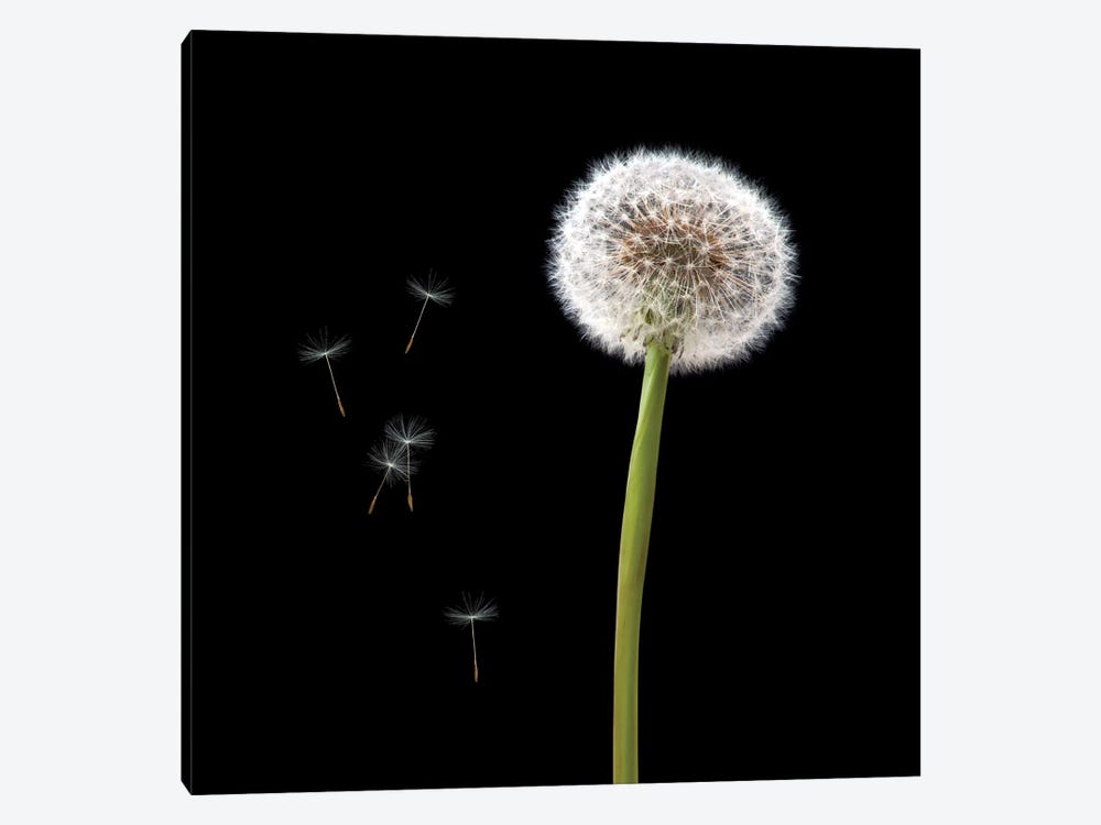 Dandelion With Seeds by Tom Quartermaine 1-piece Canvas Artwork