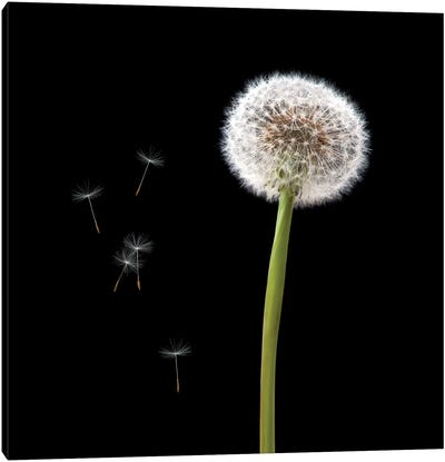 Dandelion With Seeds Canvas Art Print