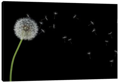 Dandelion With Seeds Panoramic Canvas Art Print