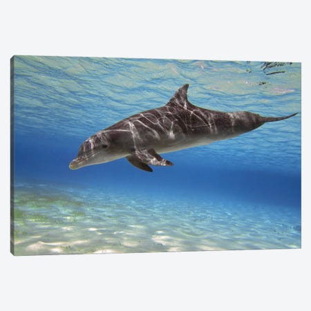 A Bottlenose Dolphin Swimming In The Barrier Reef, Grand Cayman Canvas Print #TRK1954} by Amanda Nicholls Art Print