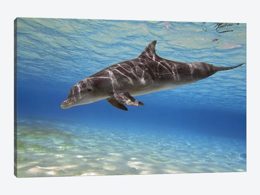 A Bottlenose Dolphin Swimming In The Barrier Reef, Grand Cayman by Amanda Nicholls 1-piece Canvas Artwork