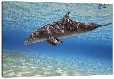 A Bottlenose Dolphin Swimming In The Barrier Reef, Grand Cayman Canvas Art Print