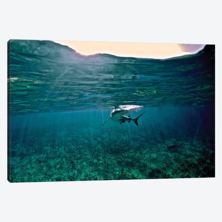 Caribbean Reef Shark, Grand Cay, The Bahamas Canvas Print #TRK1956} by Amanda Nicholls Canvas Print