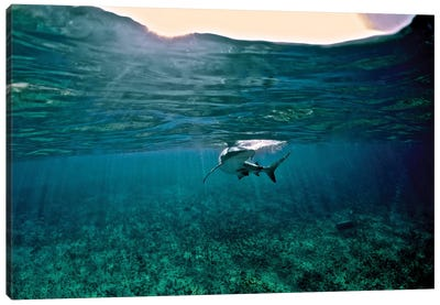 Caribbean Reef Shark, Grand Cay, The Bahamas Canvas Art Print