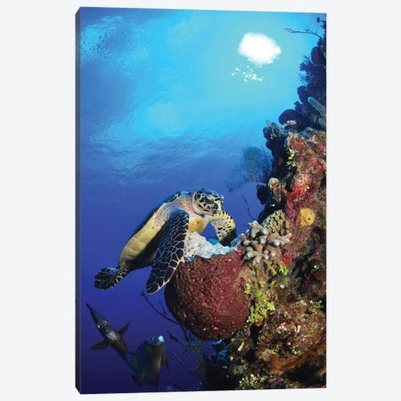 Hawksbill Sea Turtle And Gray Angelfish By Coral Reef Canvas Print #TRK1957} by Amanda Nicholls Art Print