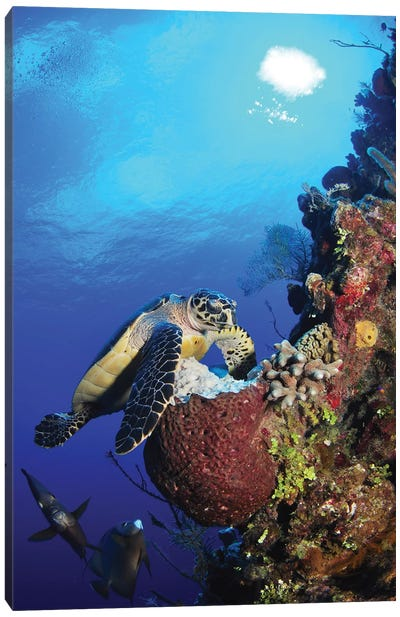 Hawksbill Sea Turtle And Gray Angelfish By Coral Reef Canvas Art Print