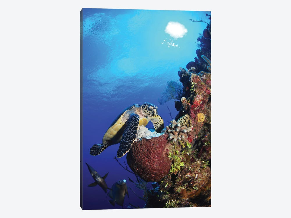 Hawksbill Sea Turtle And Gray Angelfish By Coral Reef by Amanda Nicholls 1-piece Canvas Print