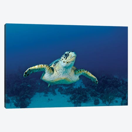 Hawksbill Sea Turtle, Nassau, The Bahamas Canvas Print #TRK1958} by Amanda Nicholls Canvas Wall Art