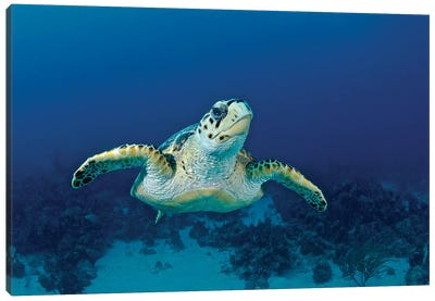 Hawksbill Sea Turtle, Nassau, The Bahamas Canvas Art Print