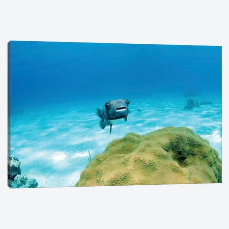Pufferfish Swimming By Star Coral, Nassau, The Bahamas Canvas Print #TRK1959} by Amanda Nicholls Canvas Artwork