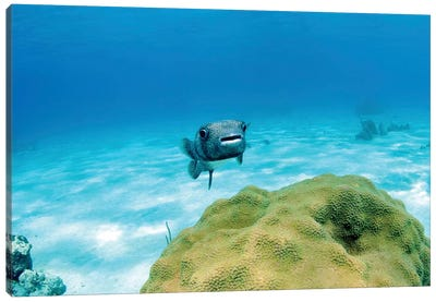 Pufferfish Swimming By Star Coral, Nassau, The Bahamas Canvas Art Print
