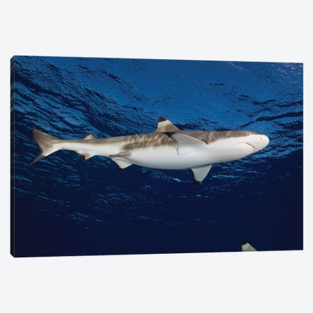Blacktip Reef Shark, Yap, Micronesia I Canvas Print #TRK1963} by Andreas Schumacher Canvas Art Print