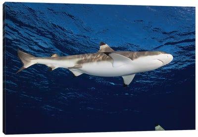 Blacktip Reef Shark, Yap, Micronesia I Canvas Art Print