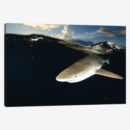 Blacktip Reef Shark, Yap, Micronesia II Canvas Print #TRK1964} by Andreas Schumacher Canvas Art