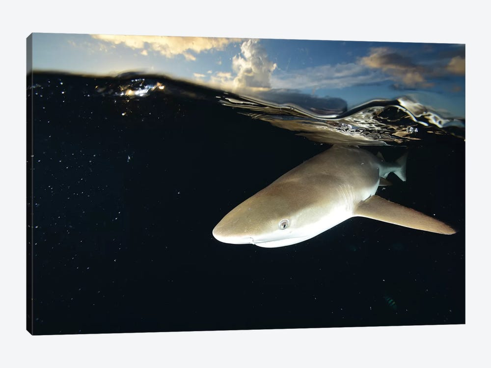Blacktip Reef Shark, Yap, Micronesia II 1-piece Canvas Art Print