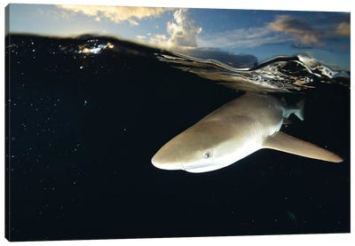 Blacktip Reef Shark, Yap, Micronesia II Canvas Art Print
