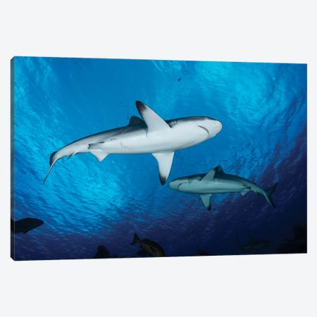 Grey Reef Sharks, Yap, Micronesia Canvas Print #TRK1965} by Andreas Schumacher Canvas Artwork
