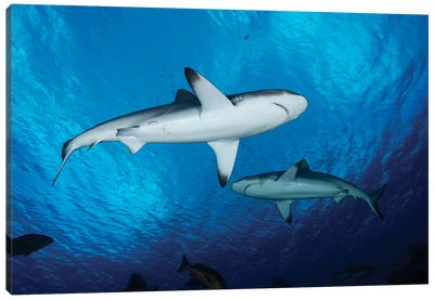 Grey Reef Sharks, Yap, Micronesia Canvas Art Print