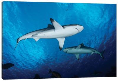 Grey Reef Sharks, Yap, Micronesia Canvas Art Print