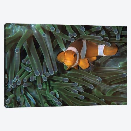 False Clownfish In An Anemone In North Sulawesi, Indonesia Canvas Print #TRK1968} by Brandi Mueller Canvas Print