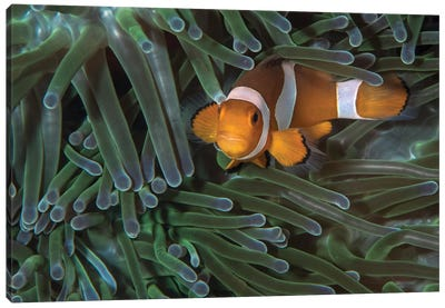 False Clownfish In An Anemone In North Sulawesi, Indonesia Canvas Art Print